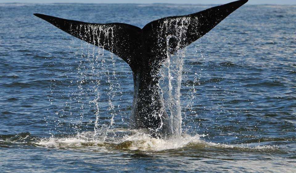 Temporada de baleias - Jornal da Cidade