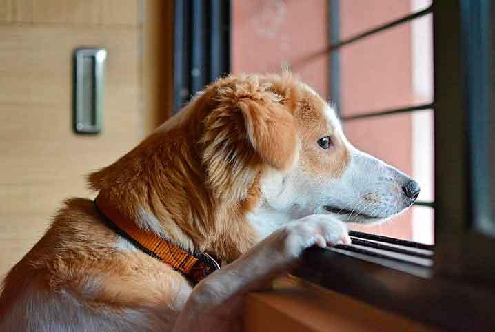 cães-na-pandemia